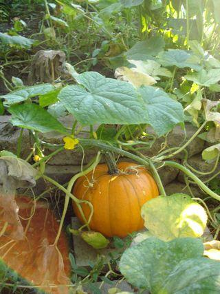 Lukes pumpkin